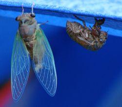 CicadaFinal