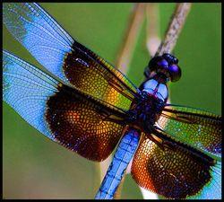 Dragonfly_kbradley_cc