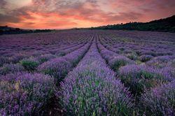 Lavender-Farm-548x364